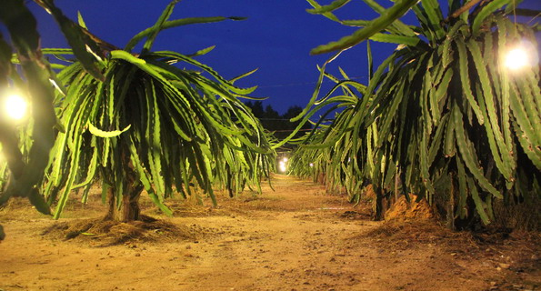 Dragon Fruit Farm at the night time